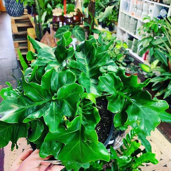 Philodendron 'Super Atom'