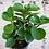 Thumbnail: Peperomia Obtusifolia Jade