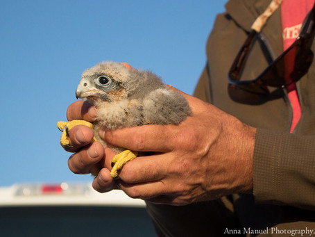 Hard work puts Aplomado Falcons on the road to recovery after Hurricane Harvey