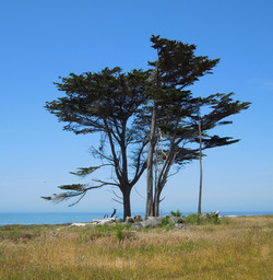 Pescadero Trees