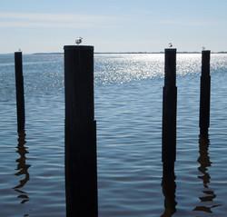 Seagulls off Havre de Grace Dock