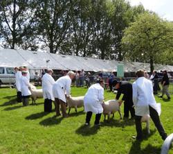 Sheep judging at B&W DSC02125