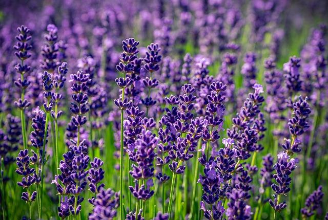 lavender-4336775_640