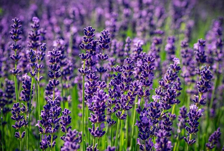 lavender-4336775_640.jpg