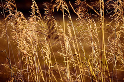 grasses-4476587_960_720
