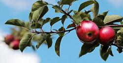 apple-2788651_640