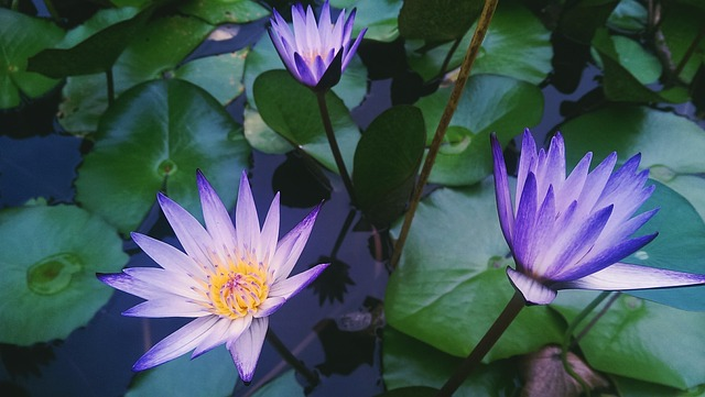water-lily-931728_640