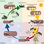 Carpenter-bee-life-cycle.png
