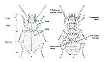 Ground Beetles .jpg