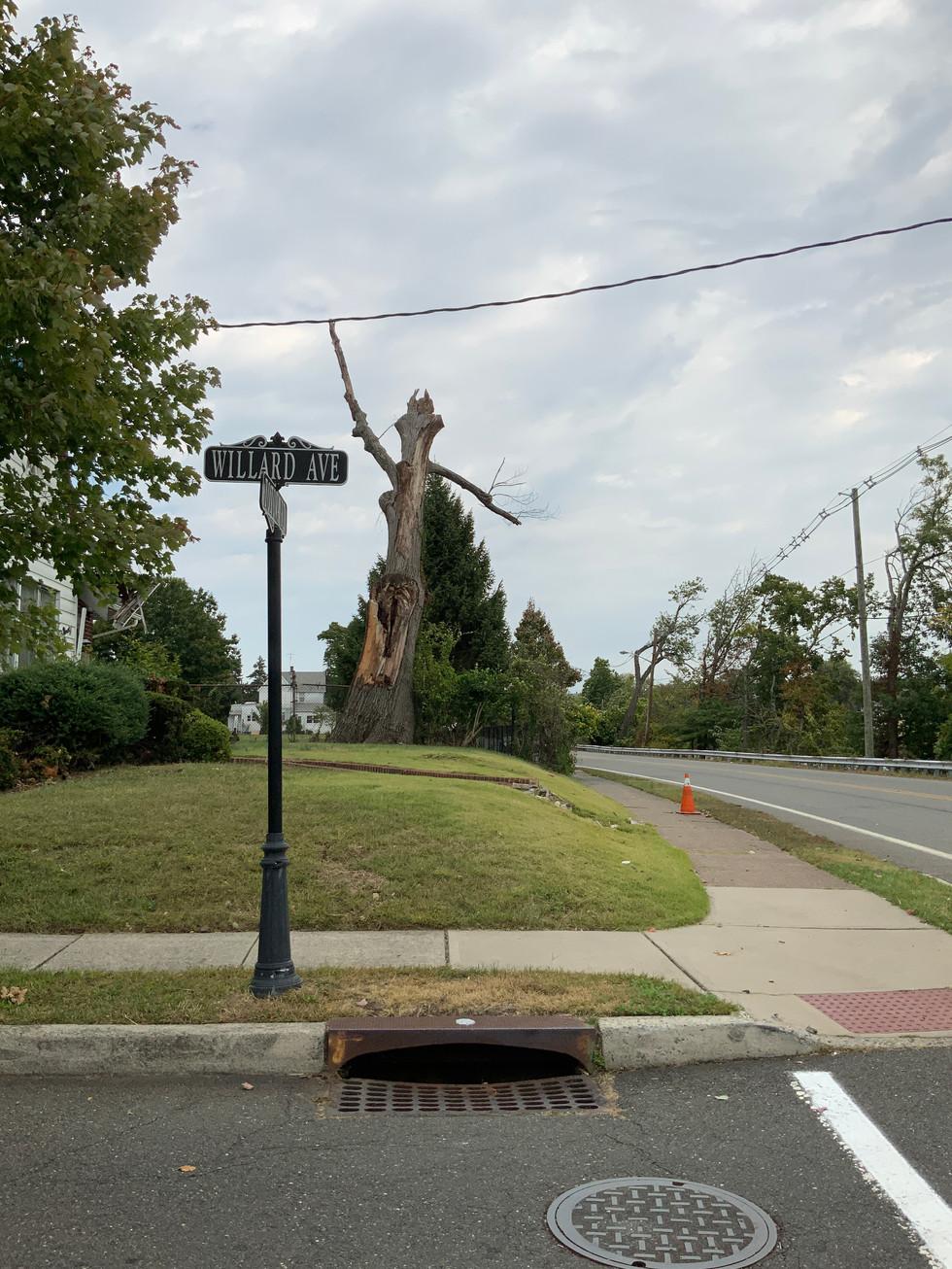 Willard Tree
