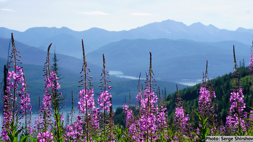 Summer wildflowers in bloom over the Hungry Horse Reservoir in the Flathead National Forest.