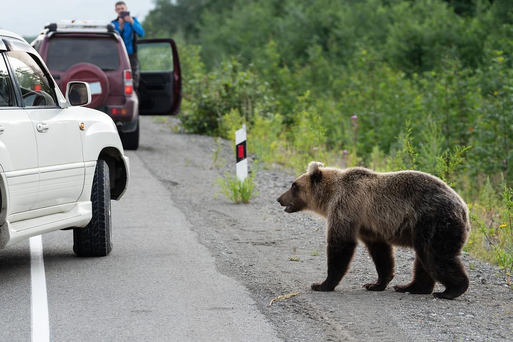 A Young Brown Bear Encountering Human Paparazzis