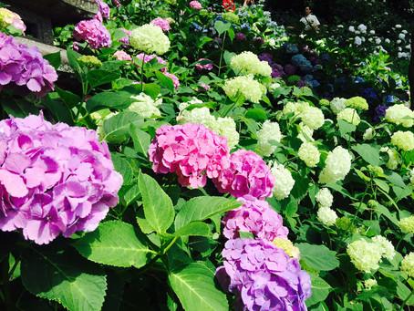 紫陽花が見頃