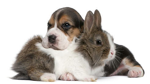 Beagle Puppy, 1 month old, and a rabbit
