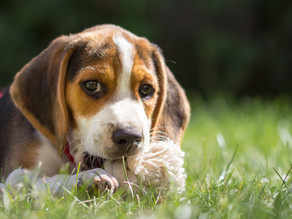 Why dogs love chewing stuff