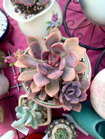 Potted Succulent - Debbie.jpg