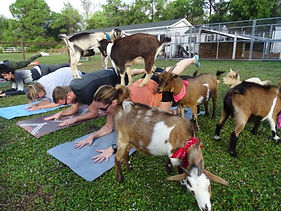 Goat Yoga_Small.JPG