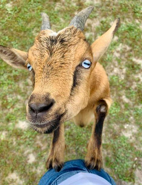 Goat Yoga - 9:00am Class
