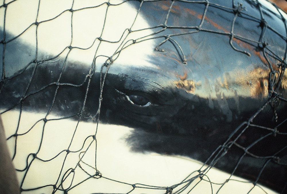 image of whale captured in 1970 in Penn Cove, Washington state. Terrell C. Newby, Ph.D.