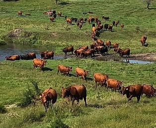 Cow Herd at River pasture.jpg