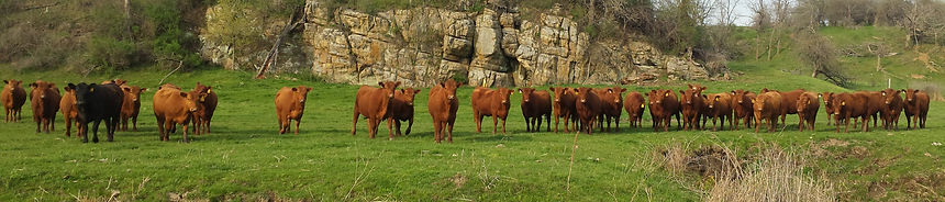 Heifers at SandHill.jpg