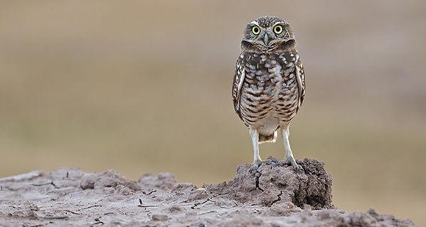 Otay-Burrowing-Owl.jpg