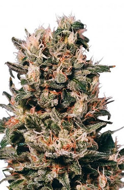 Euforia Feminised Seeds from Dutch Passion