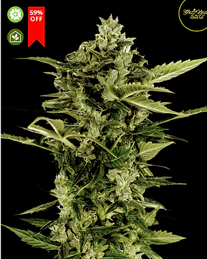 Auto-Bomb Feminised Seeds from Greenhouse Seed Co.