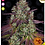 Thumbnail: Mimosa EVO Feminised Seeds from Barney's Farm Seeds