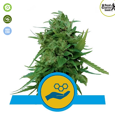 Solomatic CBD Auto Feminised Seeds from Royal Queen Seeds
