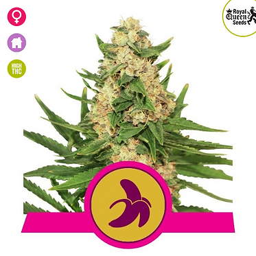 Fat Banana Feminised Seeds from Royal Queen Seeds