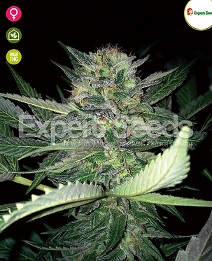 Critical Lights Feminised Seeds from Expert Seeds