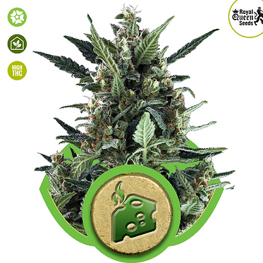 Blue Cheese Auto Feminised Seeds from Royal Queen Seeds