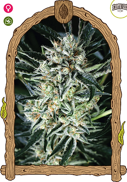 Jelly Bananas Feminised Seeds from Exotic Seeds