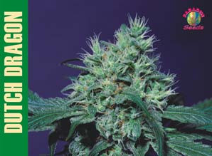 Dutch Dragon Feminised Seeds from Paradise Seeds