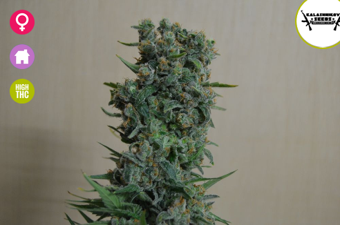 Kalashnikov Original Feminised Seeds from Kalashnikov Seeds