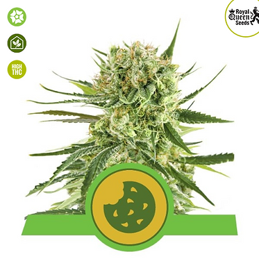 Royal Cookies Auto Feminised Seeds from Royal Queen Seeds