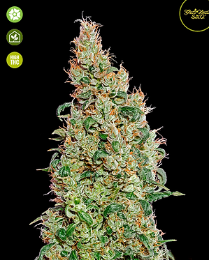 Green-O-Matic Auto Feminised Seeds from Greenhouse Seed Co.