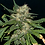Thumbnail: Northern Lights Auto Feminised Seeds from Seedsman