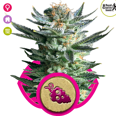 Fruit Spirit Feminised Seeds from Royal Queen Seeds