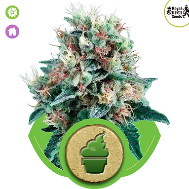 Royal Creamatic Auto Feminised Seeds from Royal Queen Seeds