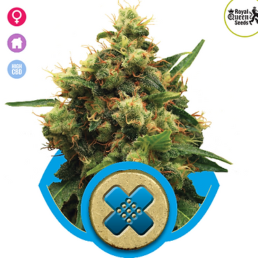 Painkiller XL Feminised Seeds from Royal Queen Seeds