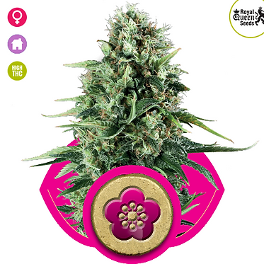 Power Flower Feminised Seeds from Royal Queen Seeds