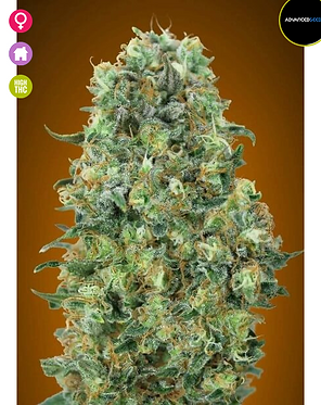 Critical Mass Feminised Seeds from Advanced Seeds