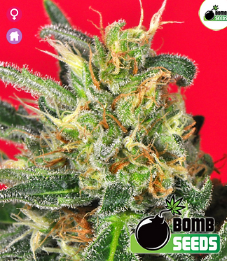 Cluster Bomb Feminised Seeds from Bomb Seeds