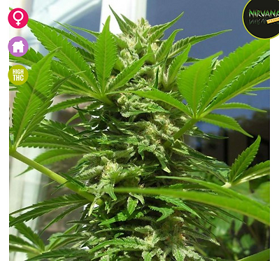 AK48 - 5 Feminised seeds from Nirvana Seeds