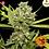 Thumbnail: Pineapple Chunk Feminised Seeds from Barney's Farm Seeds
