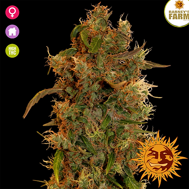 8 Ball Kush Feminised Seeds from Barney's Farm Seeds