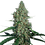 Thumbnail: G13 Haze Feminised Seeds from Barney's Farm Seeds