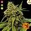 Thumbnail: Utopia Haze Feminised Seeds from Barney's Farm Seeds